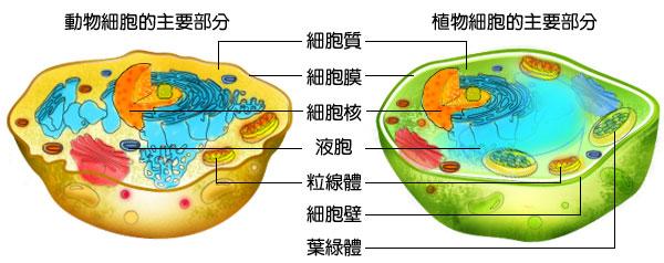 动物植物细胞模型图片